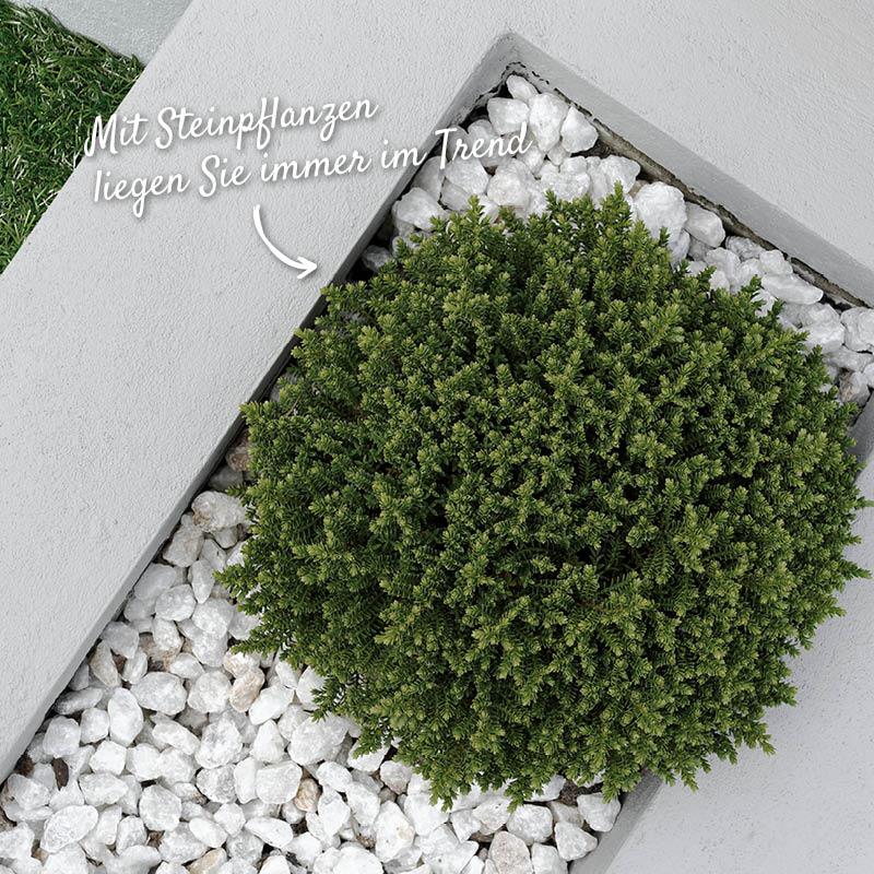 Steinpflanzen bringen unaufdringliche Abwechslung in den Garten oder auf die Terrasse – HolzLand Verbeek
